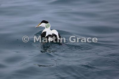 Male Common Eider (Somateria mollissima), Husavik, north Iceland