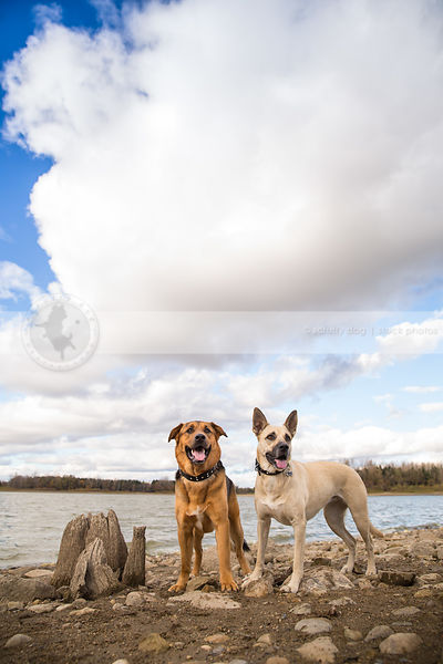 two mixed breed dogs standing together on lake shore beach