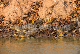 caiman_pond_edge_group-7