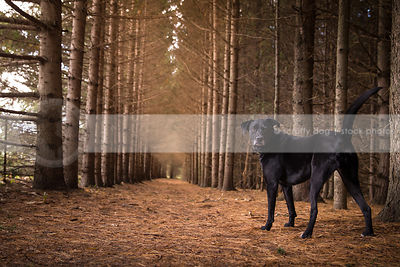 grumpy black lab dog from behind looking back standing in forest