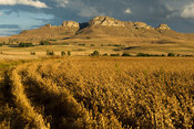Soybeans field in front of sandstone mountain, Free State, South Africa