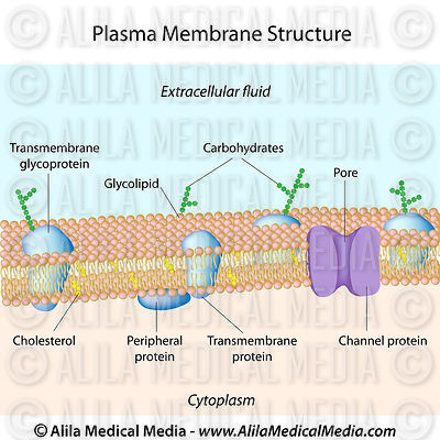 Structure of plasma membrane, labeled.