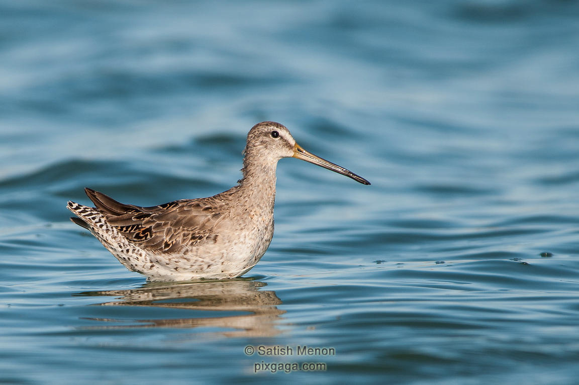 Godwit, Redwood Shores, CA, USA