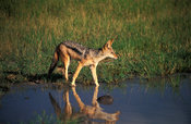 Black-backed jackal drinking, Canis mesomelas,  Hwange National Park, Zimbabwe