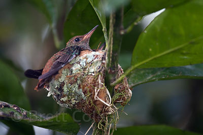 Hummingbird and baby (sp.) in nest, Los Cusingos Sanctuary, Costa Rica