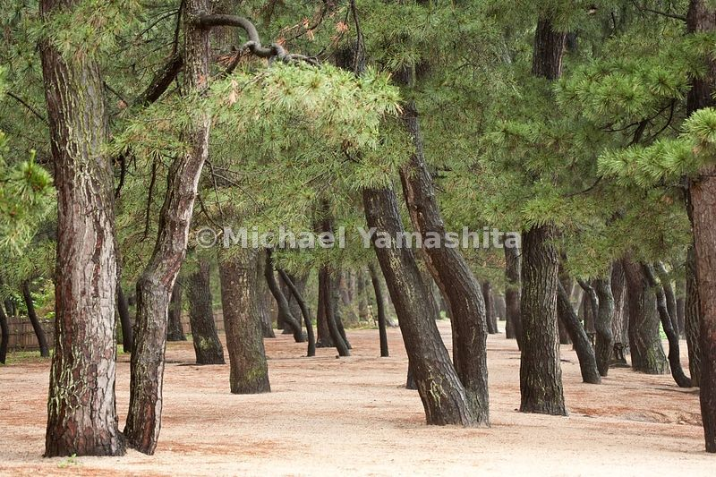 IKehi no Matsubara pine trees in rain
