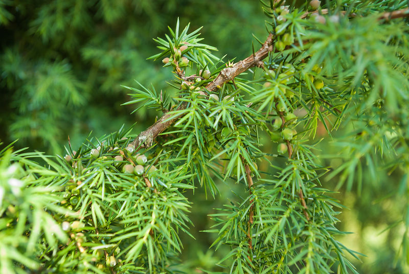 Juniper branche with berries or cones - close up