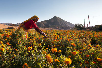 A woman harvests marigold flowers at a small farm near the Hindu holy city of Pushkar, Rajasthan, India.