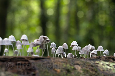 Tiny mushrooms on a downed log, Tambopata River, Peruvian Amazon