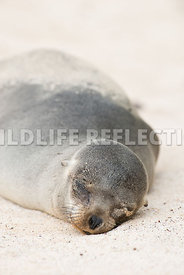 galapagos_sea_lion_santa_fe_sand_face-11