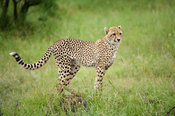 Cheetah (Acinonyx jubatus), Kruger National Park, South Africa