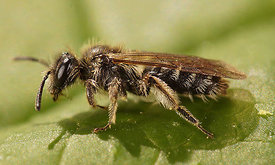 Andrena minutula group