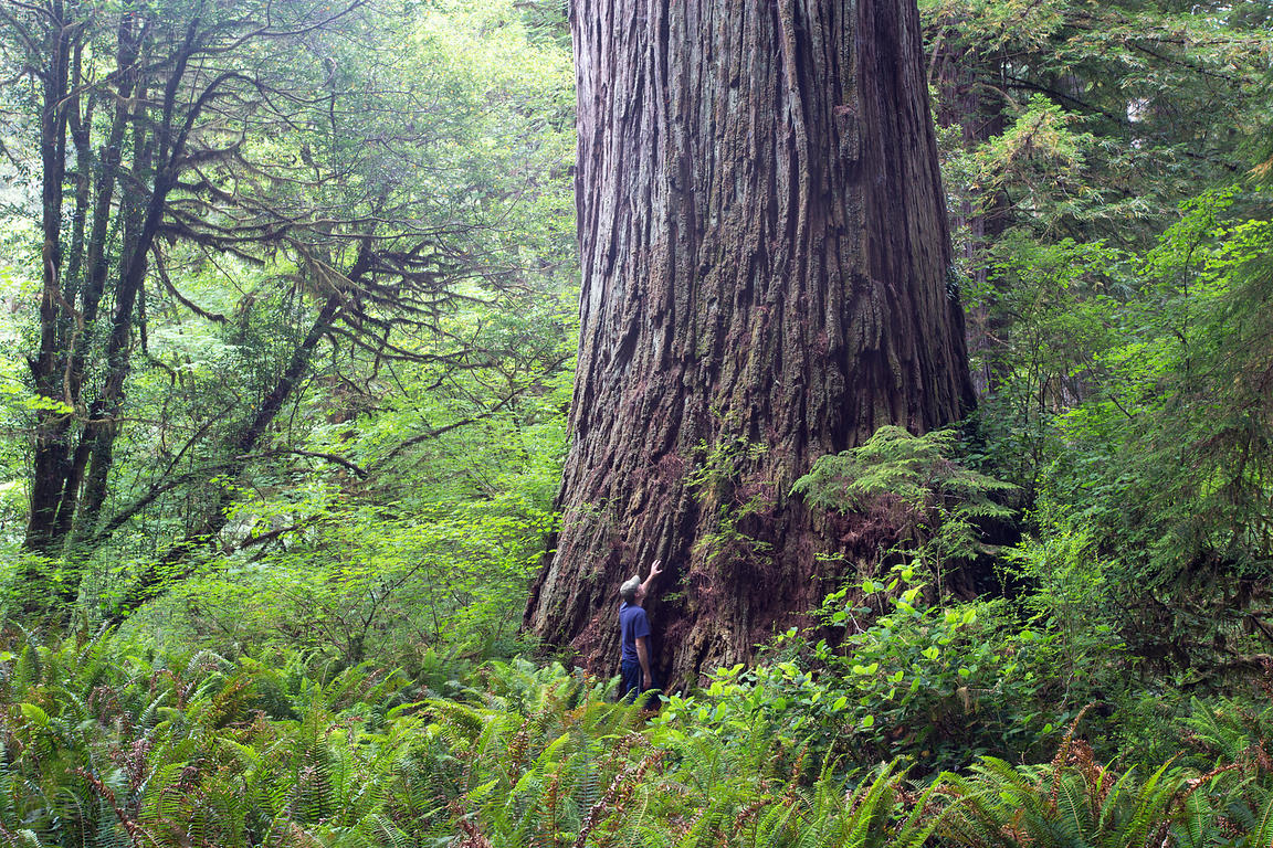 The photographer next to one of the largest Redwood trees on Earth in the Grove of Titans, undisclosed location in Jedidiah S...