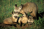 bat-eared fox with pups (Otocyon megalotis), Serengeti National Park, Tanzania
