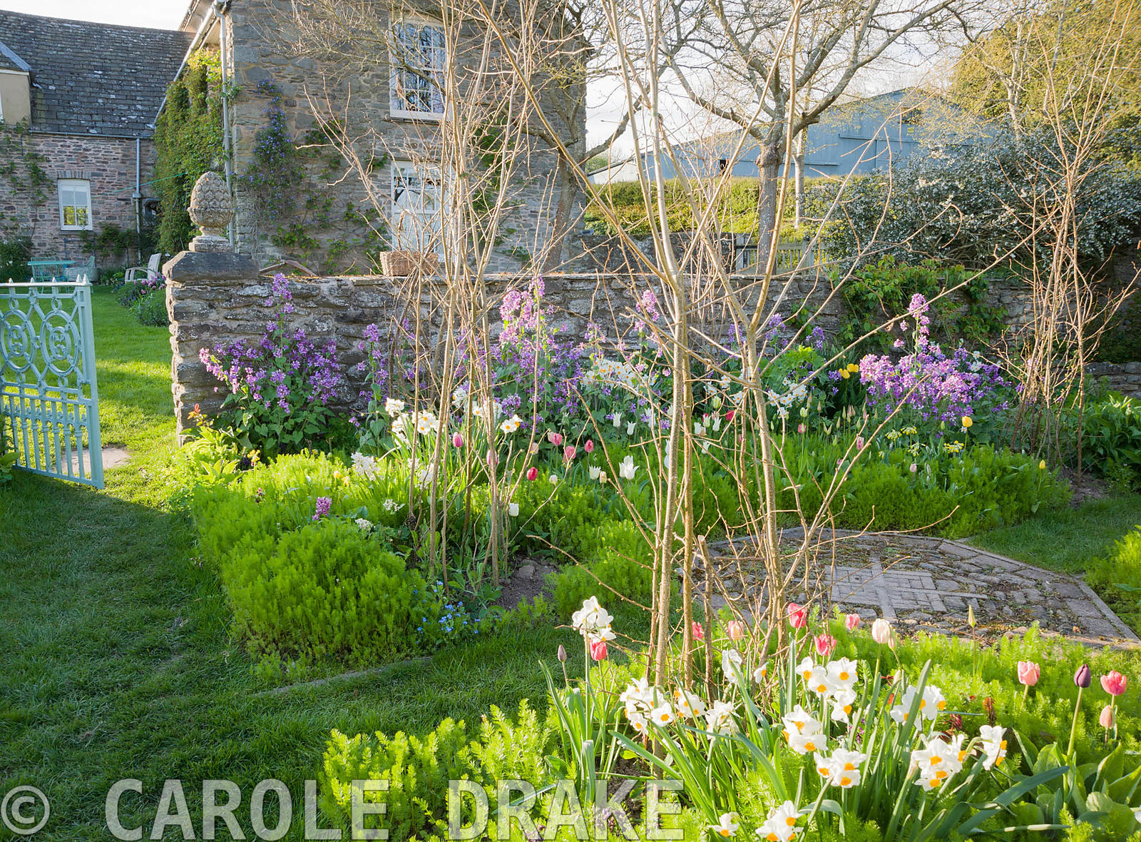 Cutting garden with purple honesty, tulips and Narcissus 'Geranium' surrounding hazel wigwams ready to support sweetpeas. Bri...