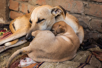 Mother and puppy street dogs, Varanasi, India