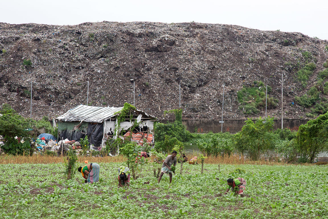 Farm workers pick lettuce, Dhapa, Kolkata, India. In the back is the main landfill for Calcutta. Dhapa is a large industrial ...