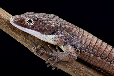 Bronze black-eyed Alligator lizard (Abronia sip)