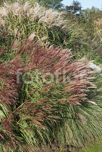 Miscanthus sinensis 'Red Chief', eulalie, couleurs automnales, rouge