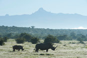 White rhinoceros (Ceratotherium simum) in front of Mount Kenya, Solio Game Ranch, Laikipia, Kenya