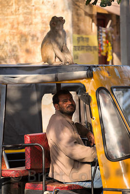 Auto rickshaw driver and red macaque monkey, Budha Pushkar, Rajasthan, India