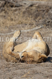 lioness_rolling_vertical_1