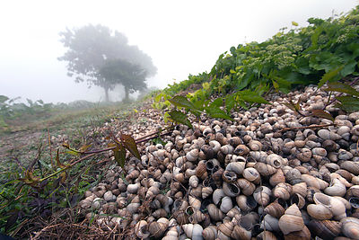 Snail shells line a grassy embankment in the East Kolkata Wetlands, Kolkata, India.