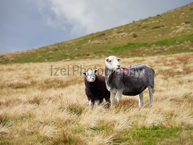 A sheep and their lamb high up on the mountains in the English Lake District, UK.