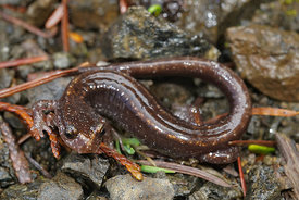 plethodon vehiculum - Western redback salamander ( red/orange form)