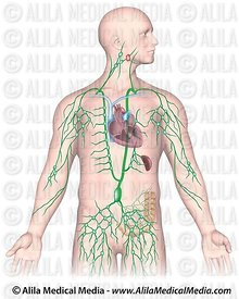 Lymphatic System Images