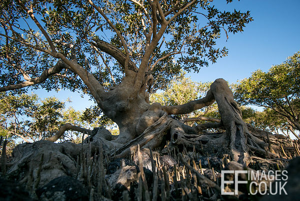 Black Mangrove Tree At Roebuck Bay Broome, Western Australia