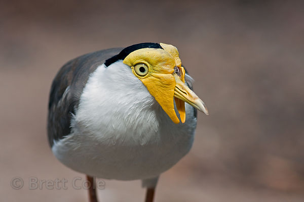 Masked Lapwing or Plover (Vanellus miles), World of Birds, South Africa