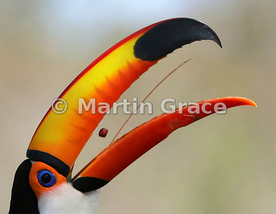 Toco Toucan Tongue Two - shortlisted in the Bird Behaviour category of Bird Photographer of the Year 2018