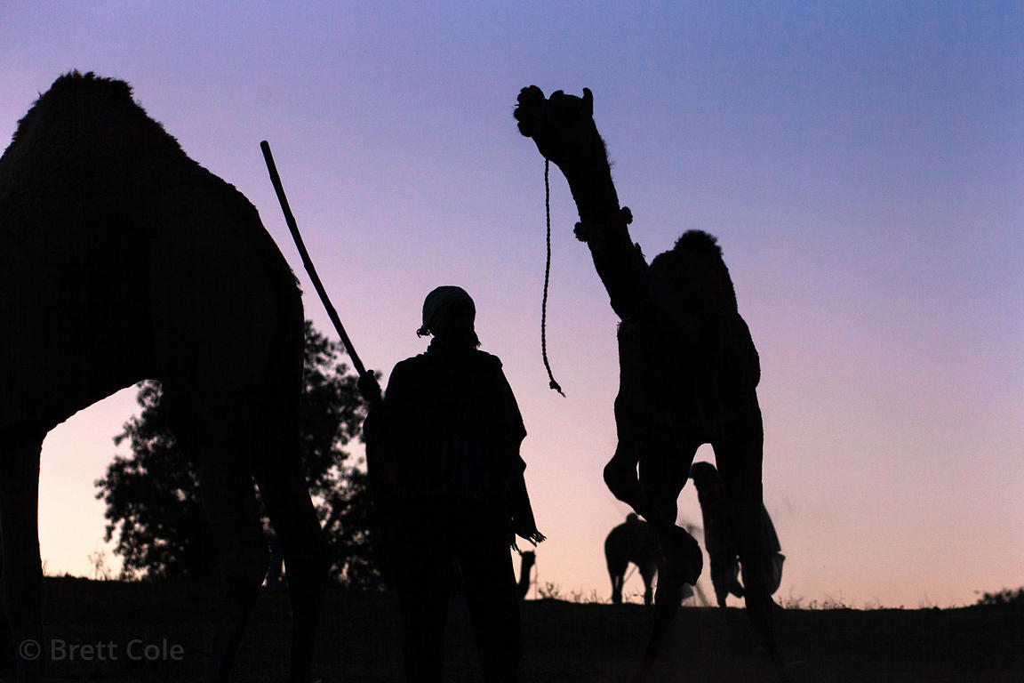 Camels and herders are silhouetted at sunrise at the Pushkar Camel Mela, Pushkar, Rajasthan, India.