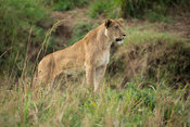 Lioness, Kidepo Valley National Park, Uganda