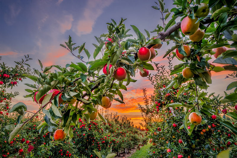 Sunrise Orchard