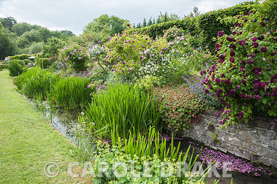 Old fashioned roses hang over the River Bride as it runs along the lower end of the garden, underplanted with hardy geraniums...