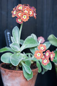 Auricula 'Brownie'. Summerdale House, Lupton, Cumbria, UK