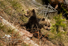 Which Way Should We Go? – Grizzly  Cubs in Yellowstone