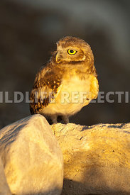 burrowing_owl_sunset_glow_vertical