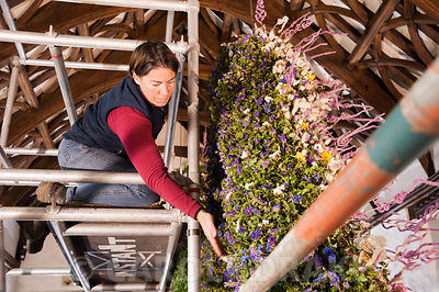 Aimee Kingdom, National Trust gardener, constructing the Christmas garland from a scaffolding tower. Cotehele, St Dominick, n...