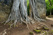 Strangler fig growing over a wall, Gedi ruins, Watamu, Kenya