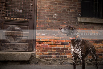 regal brown speckled pointer dog standing at urban brick wall