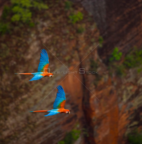 Green winged macaw (Ara chloroptera) flying, Chapada dos Guimaraes, Mato Grosso, Brazil