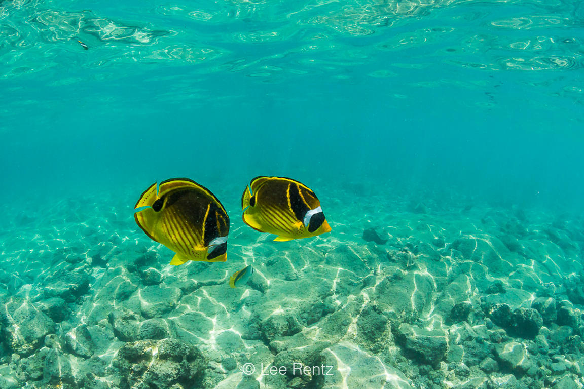 Raccoon Butterflyfish in Shallow Waters off the Big Island of Hawaii