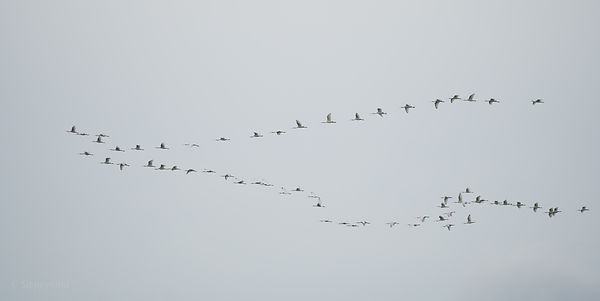 62 spoonbills in flight