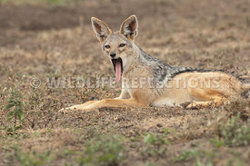black_backed_jackal_yawning_around_1