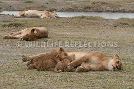 lion_family_sleeping_with_the_pride_1