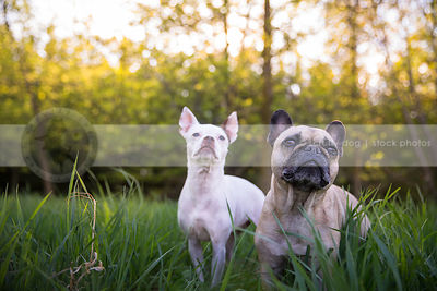 two shorthaired dogs looking skyward standing together in summer park