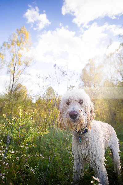 expressive scruffy wet mixed breed dog standing in meadow with backlit trees